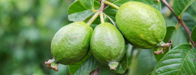 Guava fruit for hair rinse